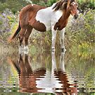 Assateague Island Wild Pony  by Monte Morton