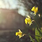 spring daffodils by kelly ishmael