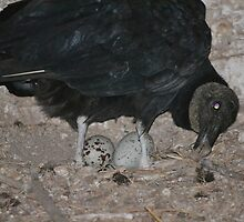Black vulture in the Dunn main barn by Kate Farkas