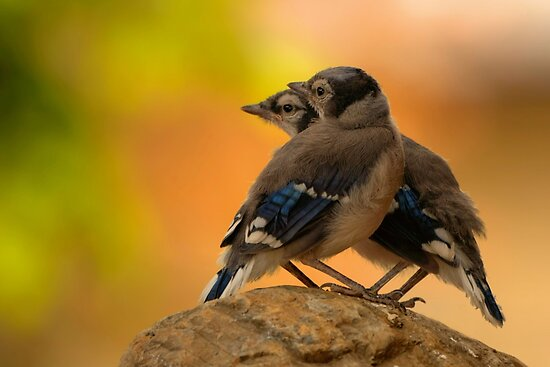 Baby Jays by JamesA1