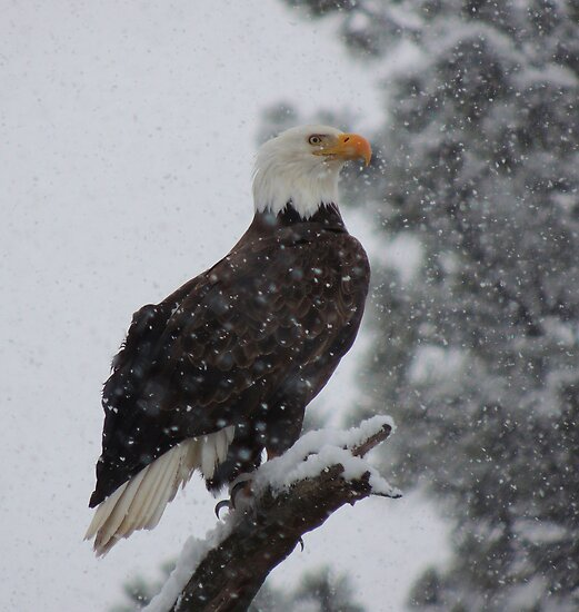 Bald Eagle by © Betty E Duncan ~ Blue Mountain Blessings Photography