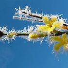 Frosty Forsythia by Emerald-Cat