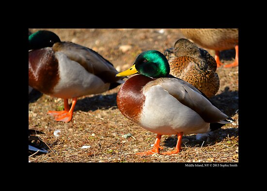 Anas Platyrhynchos - Male Mallard Duck by © Sophie W. Smith