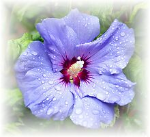 Blue Hibiscus by mhfore