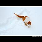 Felis Catus - White And Orange Domestic Cat In The Snow by  Sophie Smith