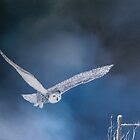 Snowy Owl by andy davis