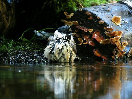 Willow tit taking a bath by Peter Wiggerman
