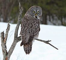 Magnificent Great Grey Owl by hummingbirds