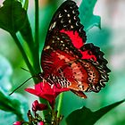 Red Butterfly  by GardenJoy