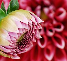Dahlia  by Heather Thorsen