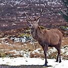 Red Deer Hart by M.S. Photography/Art
