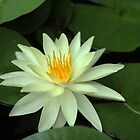 My Favorite Yellow Water Lily by Debbie Oppermann