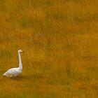 Whooper Swan by David Barnes