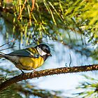 Parus Major by kocbaya63