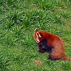 Little Red Panda by rodgers37