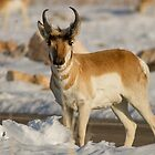 Pronghorn Antelope  Standing still by utahwildscapes