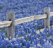 Texas Bluebonnets and an old Wooden Fence by RobGreebonPhoto