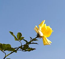 Yellow Rose by Vac1