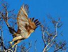 Hawk Lift Off by Paul Wolf