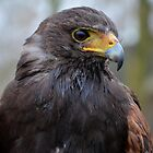 American Hawk  profile by Peter Wiggerman