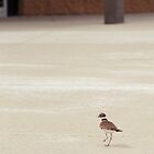 Killdeer by Starsania