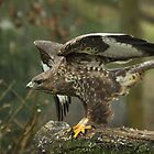 Buzzard by Hovis