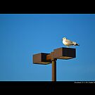 Larus Delawarensis - Ring-Billed Gull On A Stop &amp; Shop Parking Lot Light Pole  by  Sophie Smith