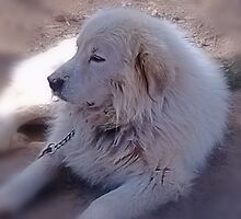 Ivan the Great Pyrenees by Charldia