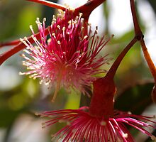 Eucalypt flower by kalaryder