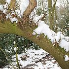 snow on a tree by Tom Windsor