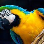 Blue And Gold Macaw. by Nick Egglington