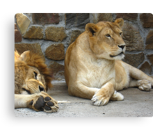 Lion and a lioness have a rest Canvas Print