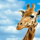 A Giraffes Headshot. by Nick Griffin