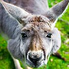 Face Off With A Kangaroo. by Nick Egglington