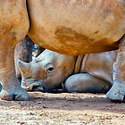 A Baby White Southern Rhino. by Nick Egglington