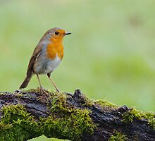 Robin in the rain by Margaret S Sweeny