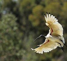 Ibis Landing by Mark Cooper