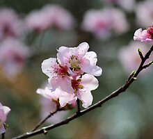 Springtime Peach Blossoms by karineverhart