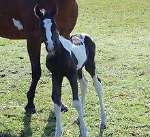 Newborn Pinto Colt by Eaglelady
