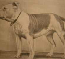 Staffordshire Bull Terrier pencil drawing by Steven Strong