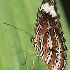 Orange Butterfly by Paul Major