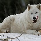 Arctic Wolf by PrecisionImages
