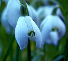 First Snowdrops of Spring by Chris-Cox