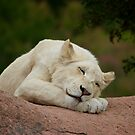 Sleeping Lion Cub by PrecisionImages