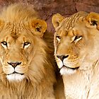 African Lions by PrecisionImages