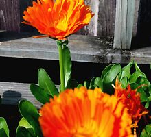 Two orange calendulas by ♥⊱ B. Randi Bailey