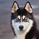 Siberian Husky Dog by M.S. Photography & Art