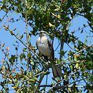 Northern Mockingbird by Howard & Rebecca Taylor