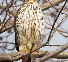 Cooper's Hawk: Looking for Robins at Red Robin by John Williams