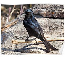 Fork Tailed Drongo Poster